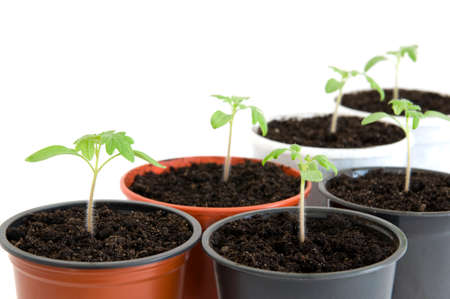Young seedlings of cherry tomato in pots over white close up Stock Photo