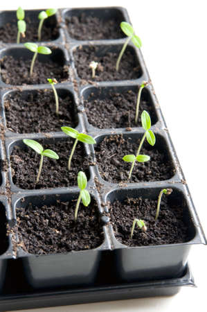 Young seedlings in tray over white Standard-Bild