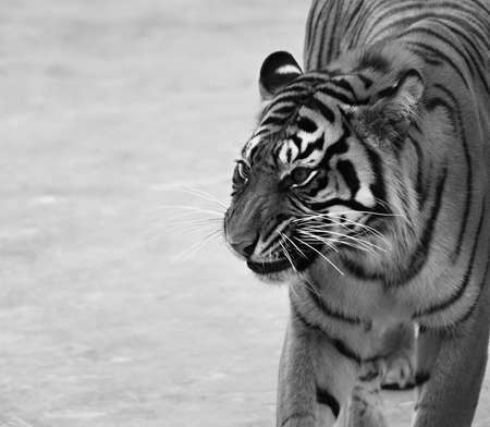 tiger making a face photo