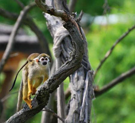 sciureus: common squirrel monkey (Saimiri sciureus) with baby