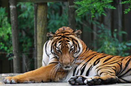 Malayan tiger (Panthera tigris jacksoni)  Stock Photo - 10777689