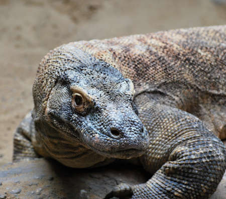 varanus: Komodo Dragon (Varanus komodoensis)