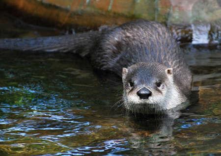 otter: Otter (lutra lutra) Stock Photo