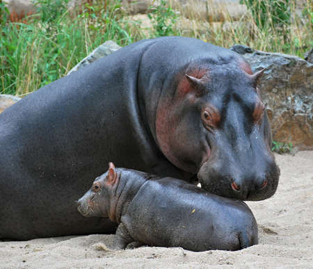 hippo: mother hippo and her baby  Stock Photo