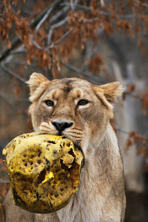 playing lioness portrait Stock Photo - 12403529