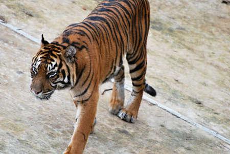 Malayan tiger  Panthera tigris Stock Photo - 12744912