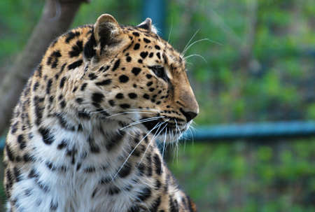 Amur leopard portrait Stock Photo - 13356006