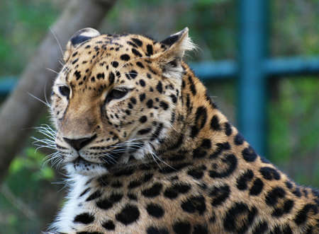 the amur: Amur leopard portrait