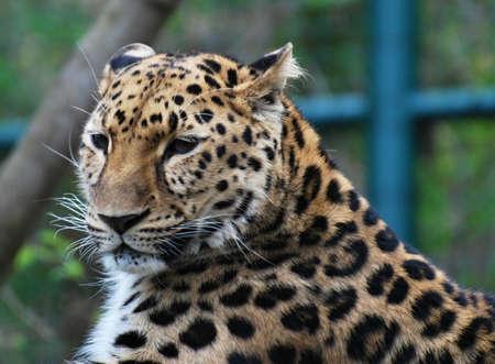 amur: Amur leopard portrait
