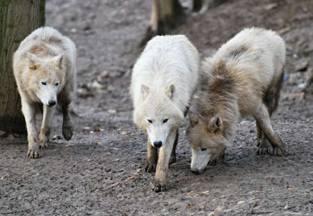 arctic wolfs pack photo