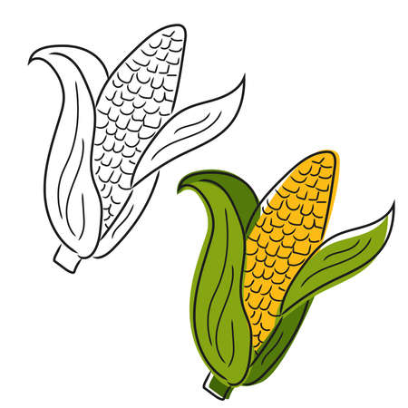 Corn hand drawn. Isolated Vegetable engraved style object. Farm market product.
