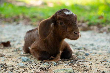 Baby Goat / Kid happy and relaxed on the ground in Natai, Phang Nga, Thailand, Asia Standard-Bild