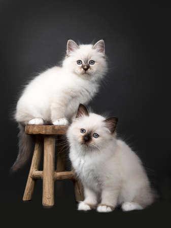 Twee Sacred Birman kittens op en aroundh een houten stoel geïsoleerd op zwarte achtergrond naar de camera gericht Stockfoto