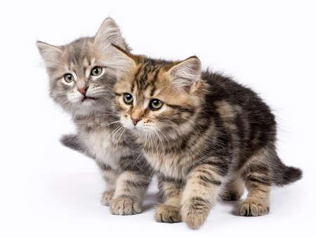 Twee Siberische Forest Cat  kittens spelen islolated op witte achtergrond verhuizen naar de kant