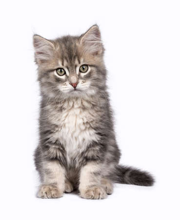 catchy: Siberian Forest cat  kittens isolated on white background sitting Stock Photo