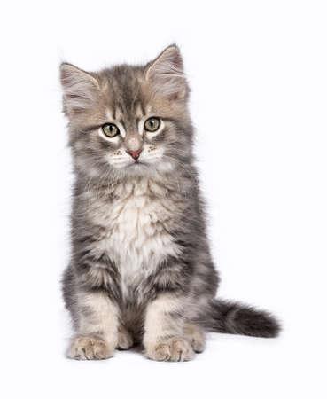 Siberische Bos kat  kittens geïsoleerd op witte achtergrond zitten Stockfoto