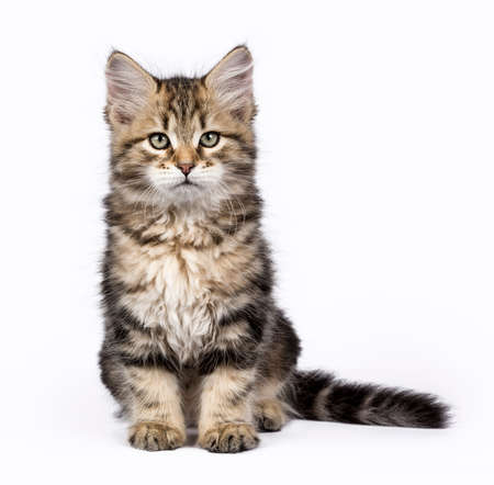 Tabby Siberian Forest cat  kittens isolated on white background sitting up