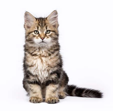 Tabby Siberian Forest kat  kittens geïsoleerd op witte achtergrond zitten