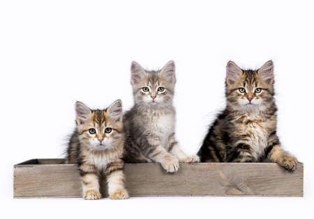 Drie Siberische Bos kat  kittens geïsoleerd op witte achtergrond zitten in een houten lade Stockfoto