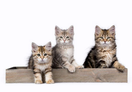 Three Siberian Forest cat  kittens isolated on white background sitting in a wooden tray