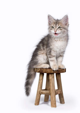 Siberische Bos kat  kittens geïsoleerd op witte achtergrond zittend op een houten stoel praten Stockfoto