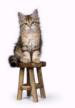 Siberische bos kat  kitten geïsoleerd op witte achtergrond zittend op houten stoel Stockfoto