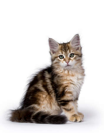 Tabby Siberian Forest cat  kitten sitting side ways isolated on white background