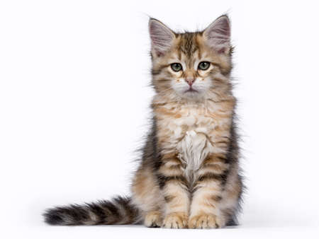 Tabby Siberian Forest cat  kitten sitting isolated on white background