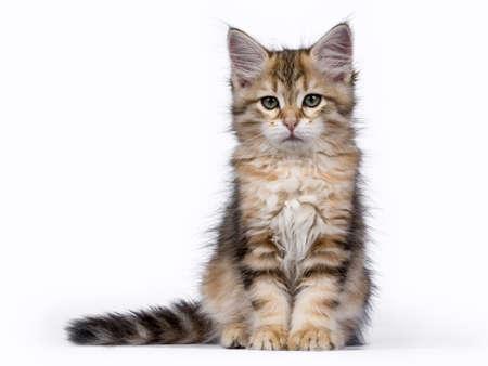 Tabby Siberian Forest kat  kitten zitten geïsoleerd op een witte achtergrond