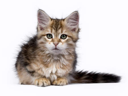 catchy: Siberian Forest cat  kitten isolated on white background laying and facing the camera Stock Photo