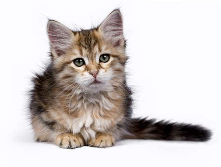 Siberian Forest cat  kitten isolated on white background laying and looking to the side