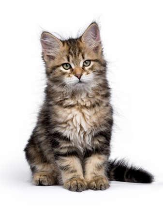 Siberische Bos kat  kittens geïsoleerd op witte achtergrond zitten en kijken naar de kant