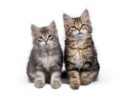 Twee Siberische Bos kat  kittens zitten op een witte achtergrond geconfronteerde camera
