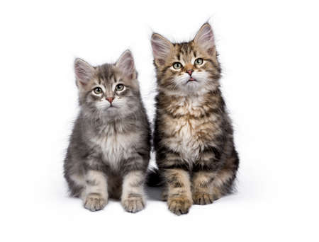 Two Siberian Forest cat  kittens sitting on white background facing camera Stockfoto