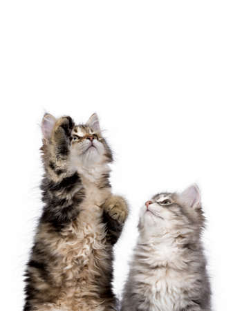 Two Siberian Forest cat  kittens isolated on white background reaching up