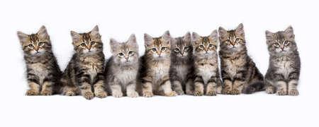 Rij van acht Siberische boskatten  kittens zitten geïsoleerd op een witte achtergrond