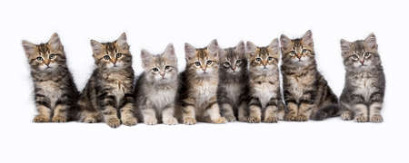 Row of eight Siberian forest cat  kittens sitting isolated on white background