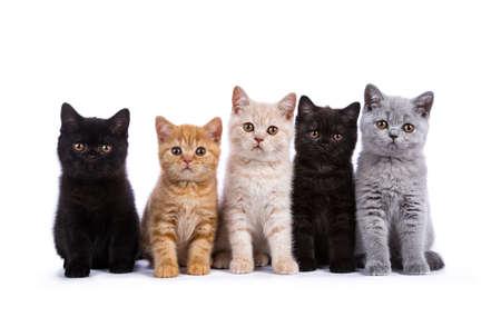 Rij van vijf Britse korthaar katten  kitten zitten geïsoleerd op een witte achtergrond Stockfoto