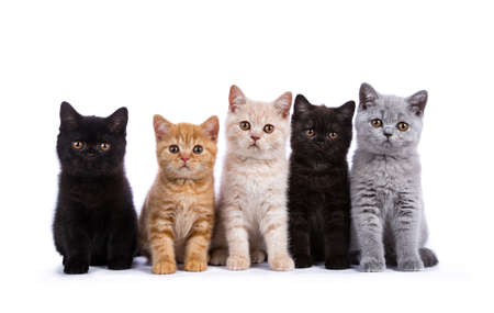 Row of five British Shorthair cats  kitten sitting isolated on white background