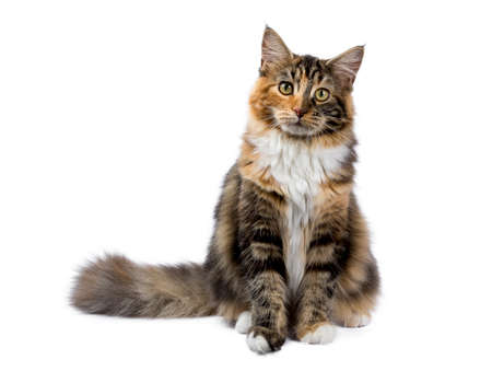 Young Maine Coon cat / kitten sitting isolated on white background
