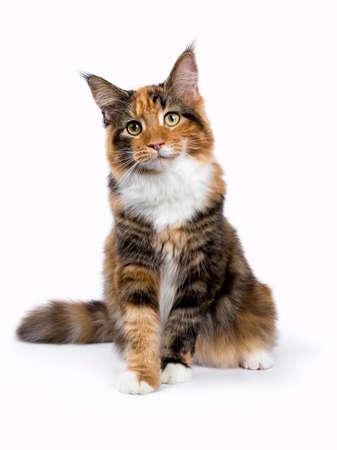 Jonge Maine Coon kat  kitten zitten geïsoleerd op een witte achtergrond