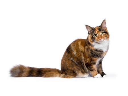 Jonge Maine Coon kat  kitten zitten zij manieren geïsoleerd op een witte achtergrond