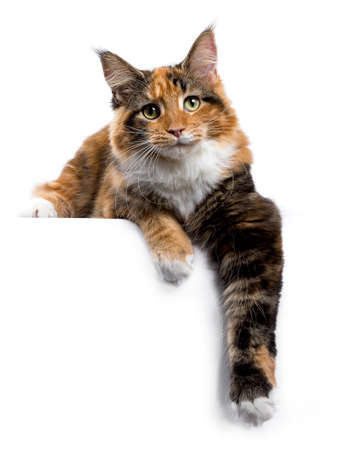 Jonge Maine Coon kat  kitten leggen met poten opknoping van rand geïsoleerd op een witte achtergrond Stockfoto
