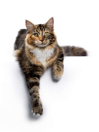 Young Maine Coon cat  kitten laying with paws hanging down from edge isolated on white background
