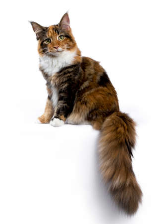Young Maine Coon cat  kitten sitting side ways with tail hanging from edge isolated on white background