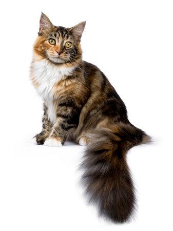 Jonge Maine Coon kat  kitten zittende kant manieren met staart hangend van rand geïsoleerd op een witte achtergrond