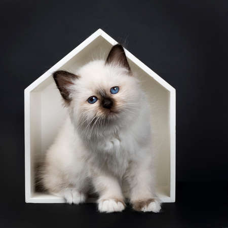 Seal point Sacred Birman kitten sitting in white wooden house, isolated on black background and looking at the camera