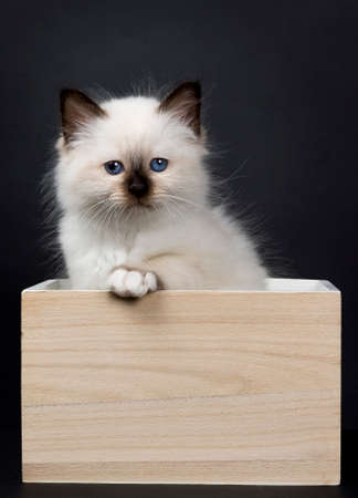 Seal pont sacred birman kitten in a wooden box, isolated on black background looking at camera