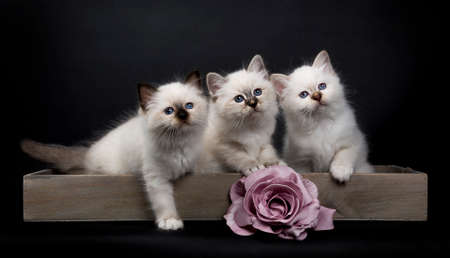 Three Sacred Birman kitten sitting in wooden tray with pink rose looking up, isolated on black background Stockfoto