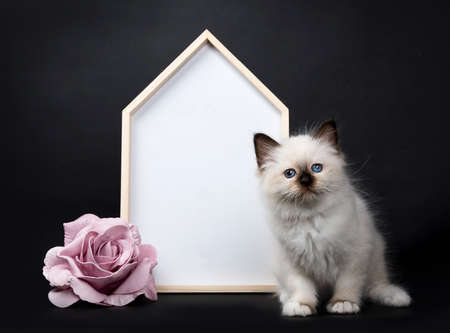 Seal point Sacred Birman kitten with a white board and rose, isolated on black background Stockfoto